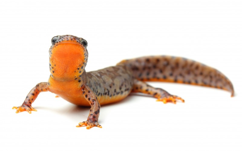 How newts can help osteoarthritis patients