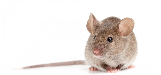 Probiotics stop menopause-like bone loss in mice